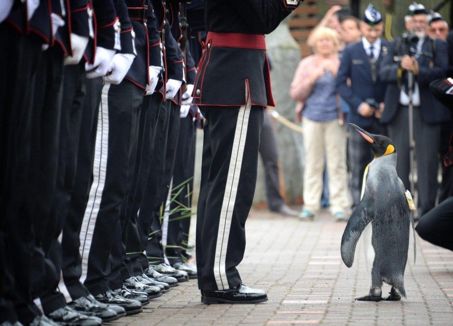 Il pinguino Nils Olav premiato Brigadiere delle forze armate norvegesi