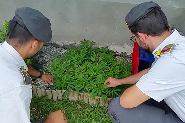 GdF Lodi: arrestato coltivatore di marijuana «bio»