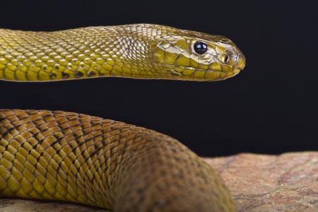 Taipan dell'interno – Oxyuranus microlepidotus