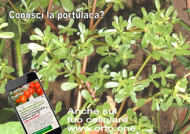 La Portulaca oleracea, o erba porcellana, una gustosa erba spontanea - Coltivare l'orto