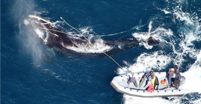 333 balenottere uccise dal Giappone da novembre ad oggi