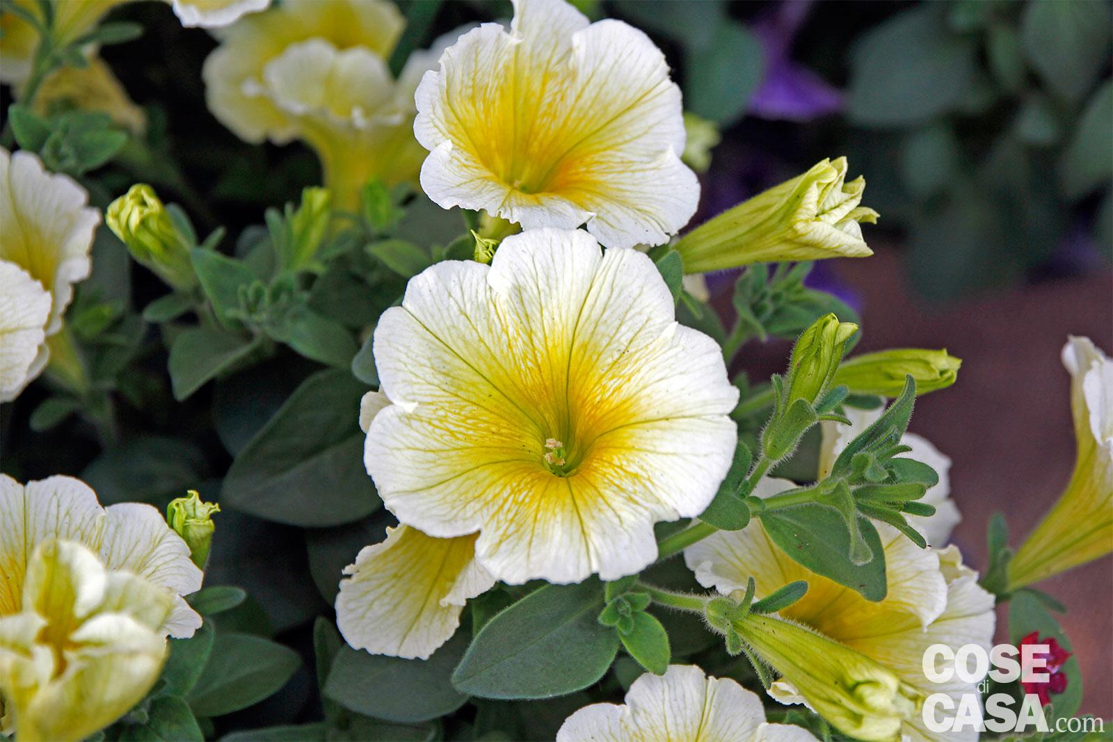 Petunia hybrida – Petunia