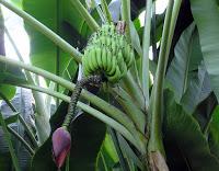 Rischia l'estinzione uno dei frutti più buoni: un fungo patogeno il killer delle banane