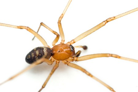 Steatoda grossa – Cupboard spider