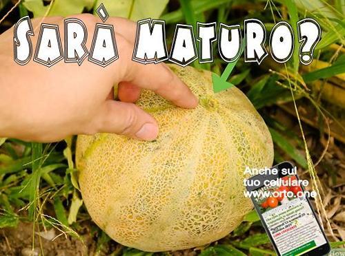Come riconoscere il melone maturo