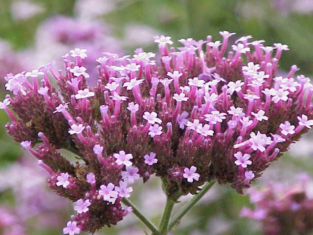 Verbena, l'erba di Venere per diuresi e digestione