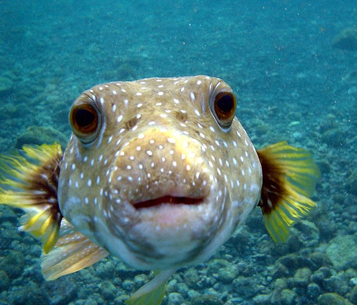 Un animale velenoso ma commestibile, il pesce palla