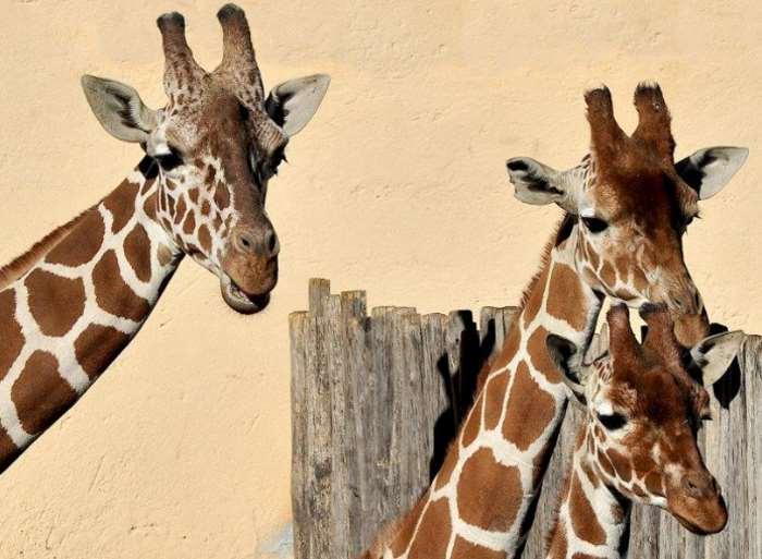 Al Bioparco di Roma, il 18 giugno sarà una domenica con le giraffe