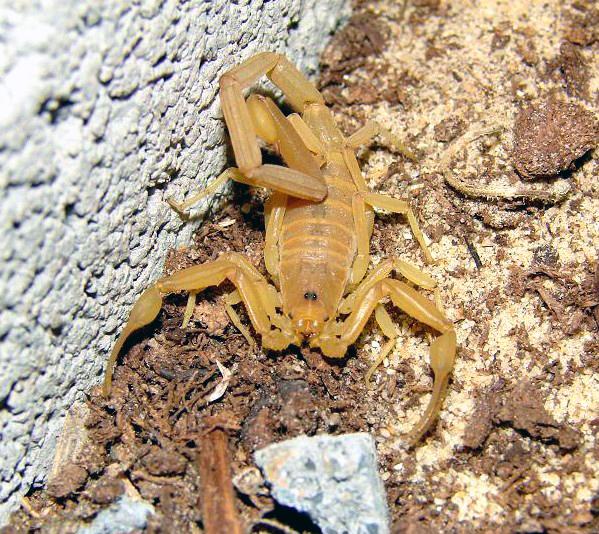 Scorpione della Corteccia – Centruroides sculpturatus